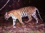 tiger416zsl