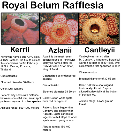 Image result for types of rafflesia in Belum