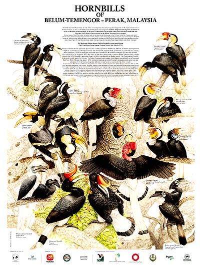 Image result for types of hornbills in Belum