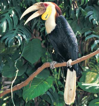 Wreathed Hornbill 301 Moved Perma...