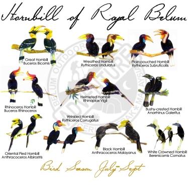hornbill_of_Belum