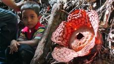 rafflesia1